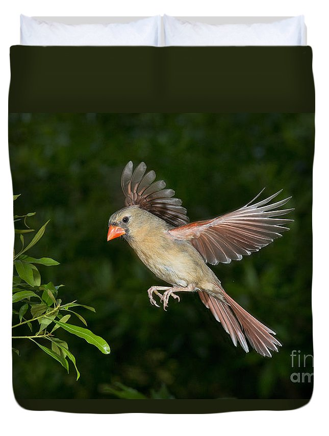 Northern Cardinal Duvet Cover featuring the photograph Northern Cardinal Hen by Anthony Mercieca