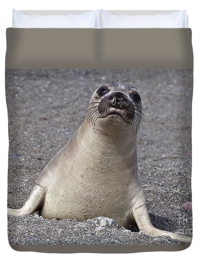 Northern Elephant Seal Duvet Cover featuring the photograph Northern Elephant Seal Weaner by Liz Leyden