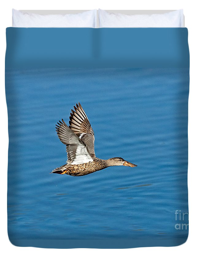 Northern Shoveler Duvet Cover featuring the photograph Northern Shoveler In Flight by Anthony Mercieca
