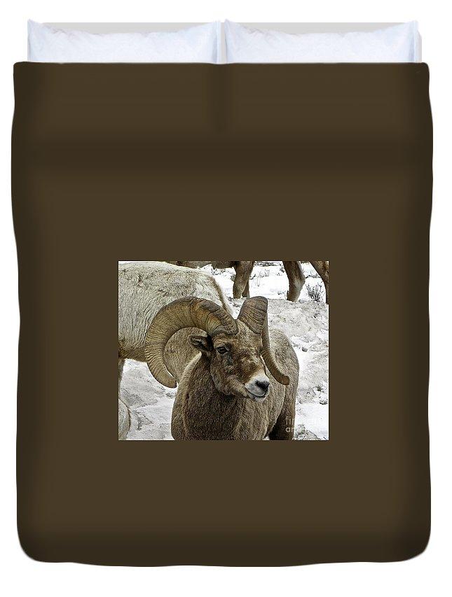 Big Horn Sheep Duvet Cover featuring the photograph Old Big Horn Sheep by Tisha Clinkenbeard