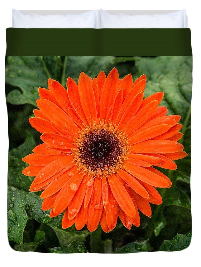 Gerber Daisy Duvet Cover featuring the photograph Orange Gerber Daisy 3 by Douglas Barnett