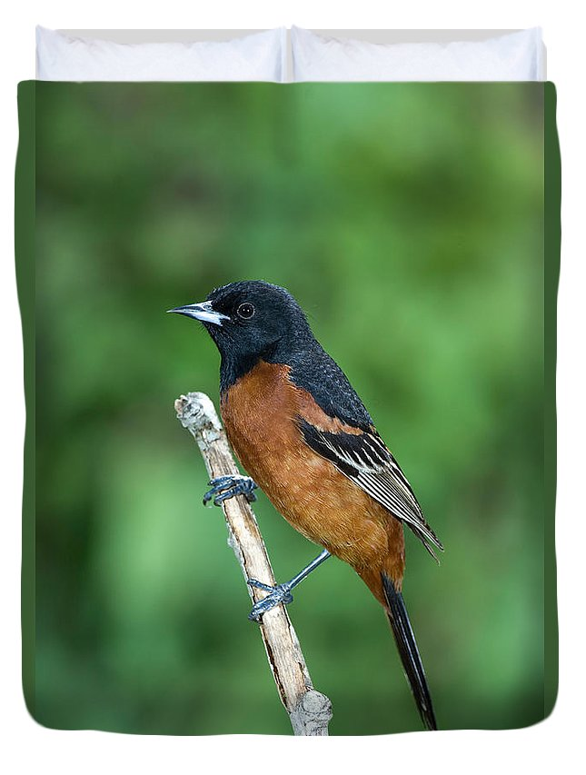 Animal Duvet Cover featuring the photograph Orchard Oriole Icterus Spurius Adult by Anthony Mercieca