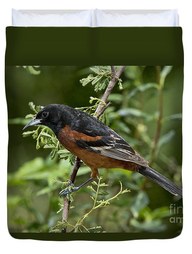 Orchard Oriole Duvet Cover featuring the photograph Orchard Oriole Male by Anthony Mercieca