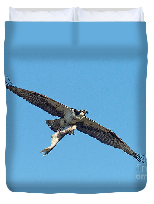 Animal Duvet Cover featuring the photograph Osprey Bringing Big Fish by Anthony Mercieca