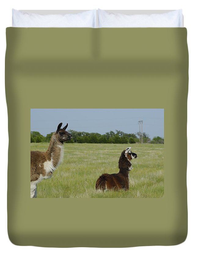 Alpaca Duvet Cover featuring the photograph Pair Of Alpacas by Charles Beeler