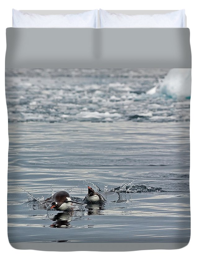 Iceberg Duvet Cover featuring the photograph Penguins In The Water by Jim Julien / Design Pics