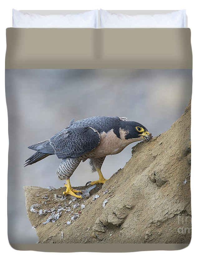 Peregrine Falcon Duvet Cover featuring the photograph Peregrine Cleaning Beak by Anthony Mercieca