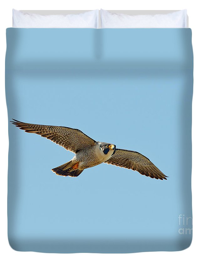 Animal Duvet Cover featuring the photograph Peregrine Falcon In Flight by Anthony Mercieca