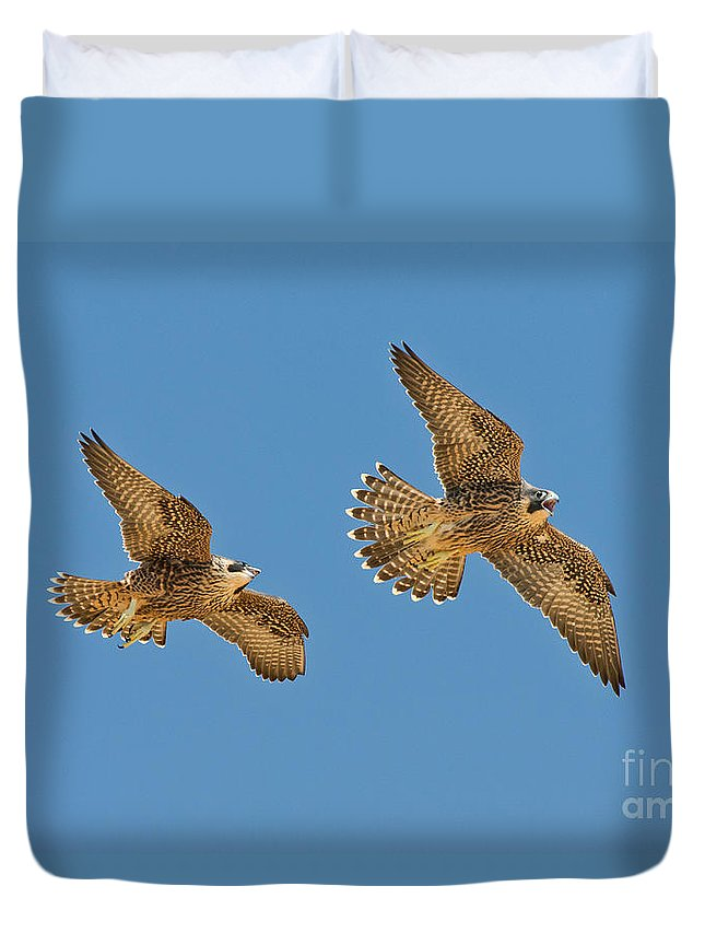 Peregrine Falcon Duvet Cover featuring the photograph Peregrine Siblings Chasing Each Other by Anthony Mercieca