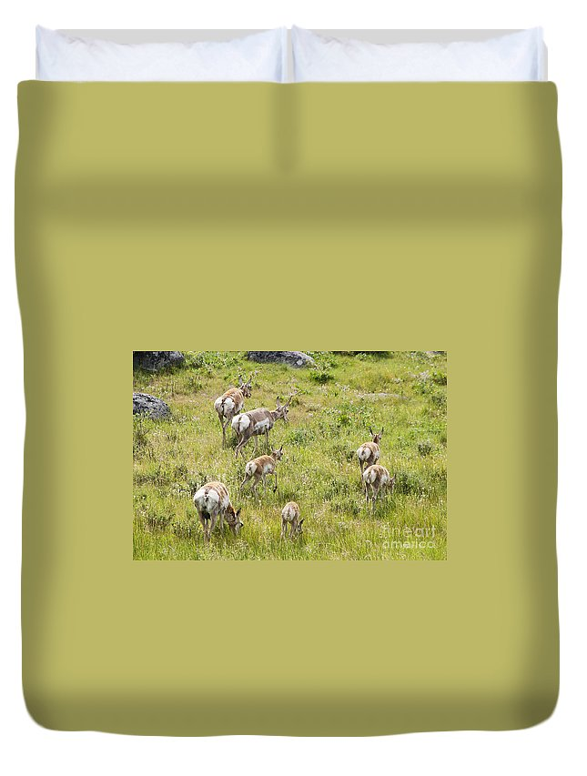 Pronghorn Antelope Duvet Cover featuring the photograph Pronghorn Antelope In Lamar Valley by Belinda Greb