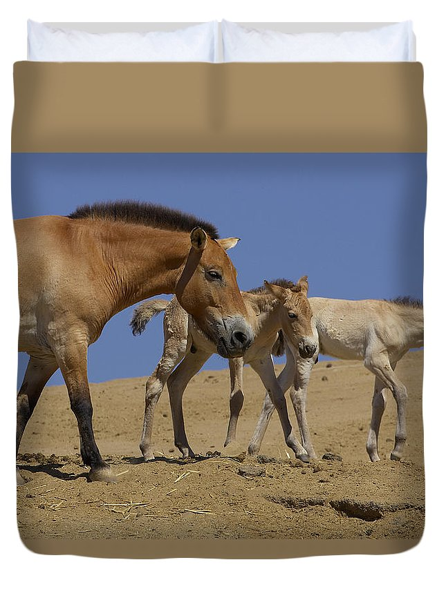 Feb0514 Duvet Cover featuring the photograph Przewalskis Horse With Two Foals by San Diego Zoo