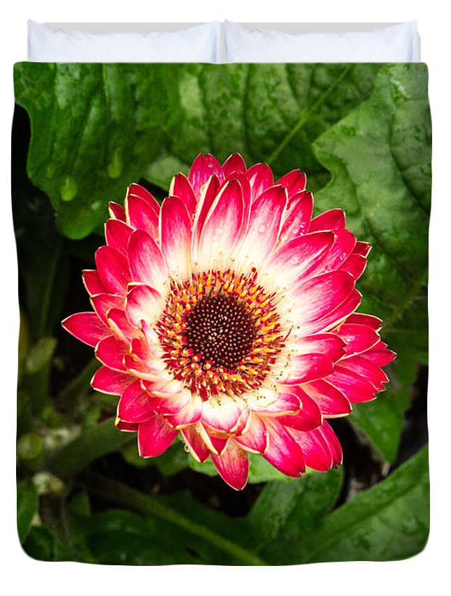 Gerber Daisy Duvet Cover featuring the photograph Red And White Gerber Daisy by Douglas Barnett