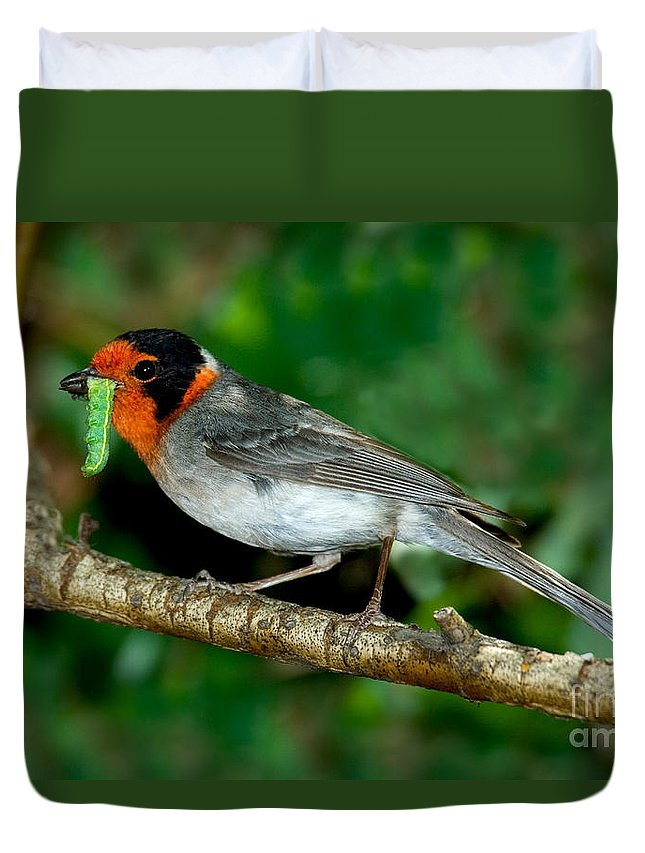 Animal Duvet Cover featuring the photograph Red-faced Warbler With Caterpillar by Anthony Mercieca