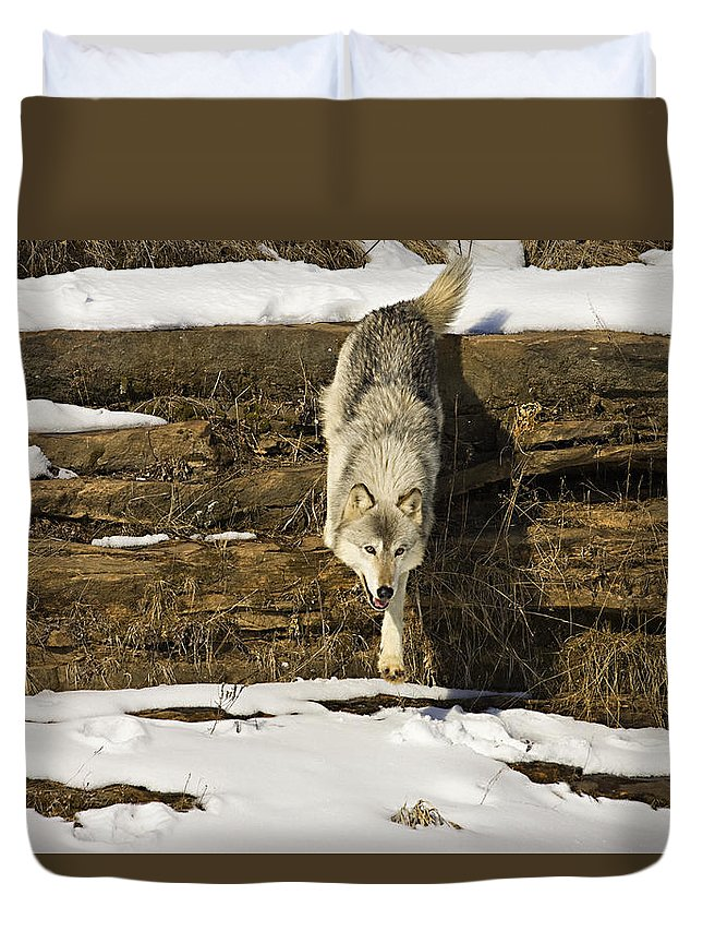 Wolf Duvet Cover featuring the photograph Roaming by Jack Milchanowski