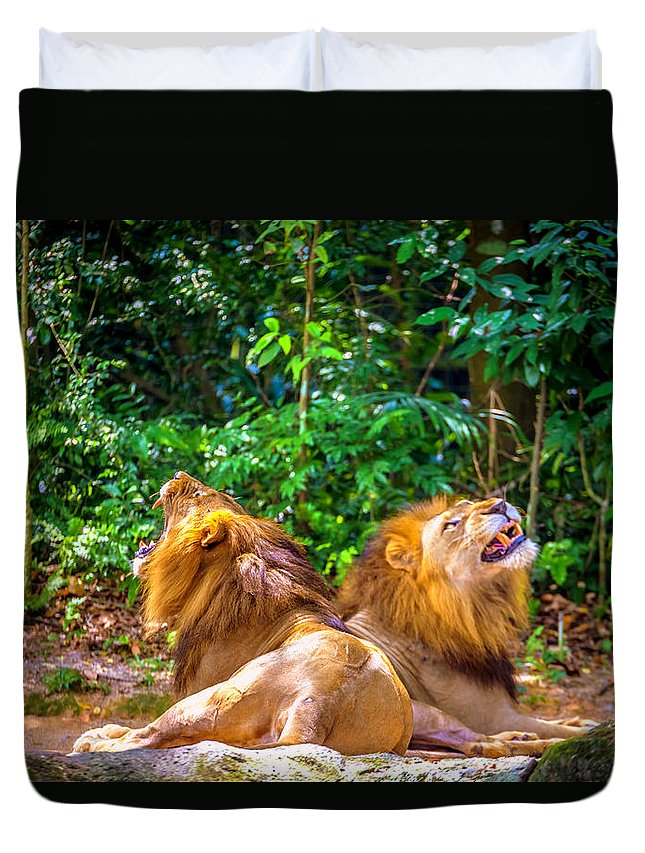 Lion Duvet Cover featuring the photograph Roaring Lions by Jijo George