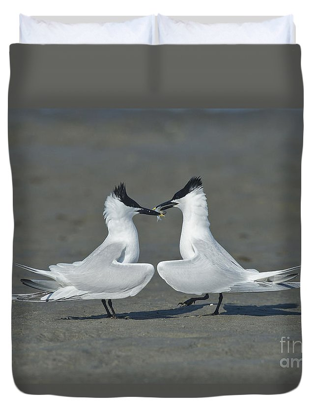 Sandwich Tern Duvet Cover featuring the photograph Sandwich Terns by Anthony Mercieca