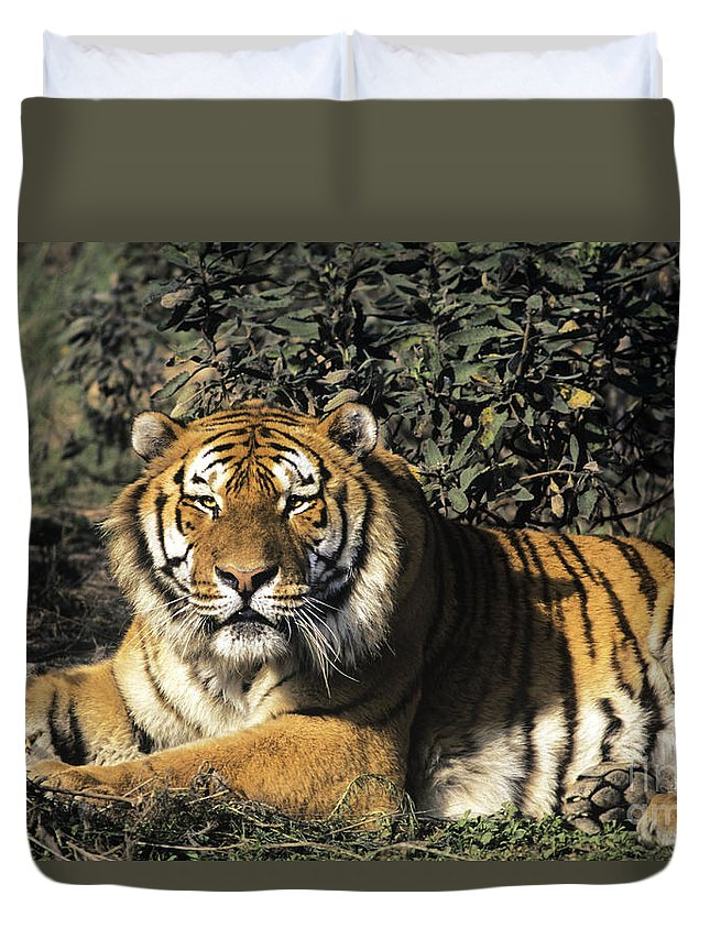 Siberina Tiger Duvet Cover featuring the photograph Siberian Tiger Endangered Species Wildlife Rescue by Dave Welling