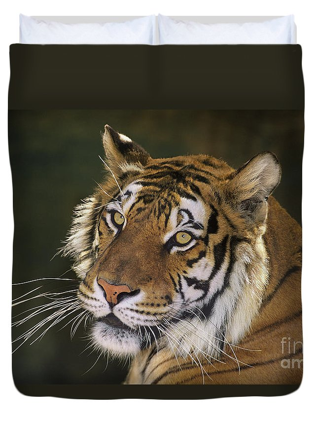 Siberian Tiger Duvet Cover featuring the photograph Siberian Tiger Portrait Endangered Species Wildlife Rescue by Dave Welling