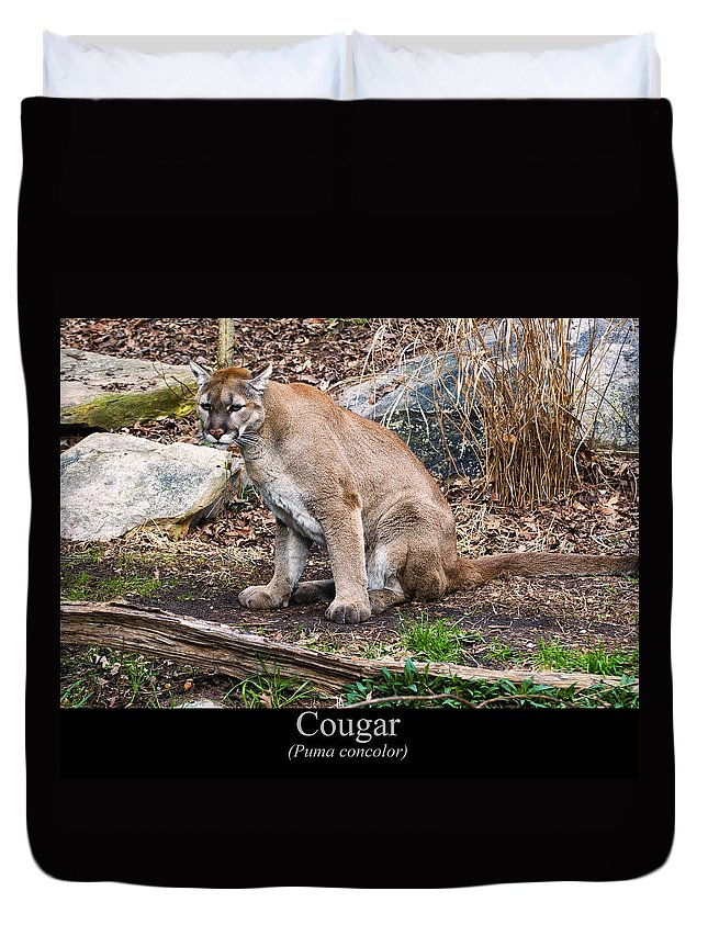 Class Room Posters Duvet Cover featuring the digital art sitting Cougar by Chris Flees