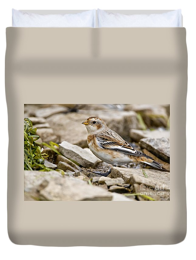 Snow Bunting Duvet Cover featuring the photograph Snow Bunting Pictures 43 by World Wildlife Photography