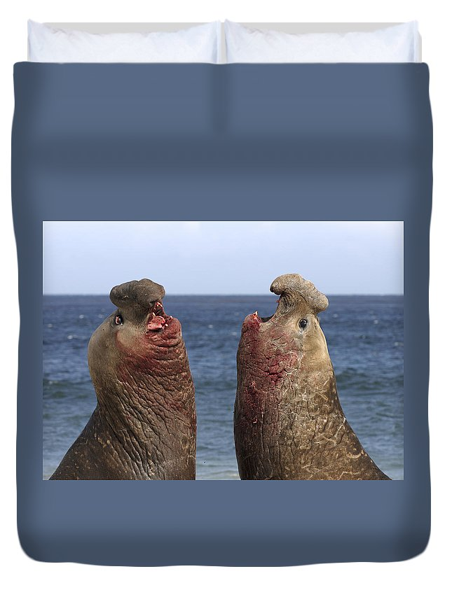 Feb0514 Duvet Cover featuring the photograph Southern Elephant Seal Males Competing by Hiroya Minakuchi