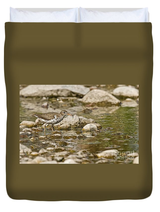 Spotted Sandpiper Duvet Cover featuring the photograph Spotted Sandpiper Pictures 36 by World Wildlife Photography