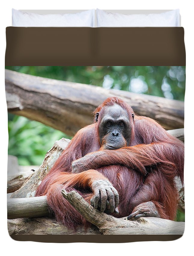 Orang Utan Duvet Cover featuring the photograph Sumatran Orang Utan by Jit Lim
