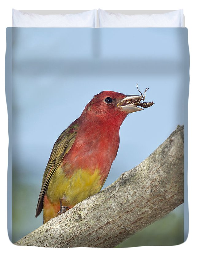 Summer Tanager Duvet Cover featuring the photograph Summer Tanager Eating Wasp by Anthony Mercieca