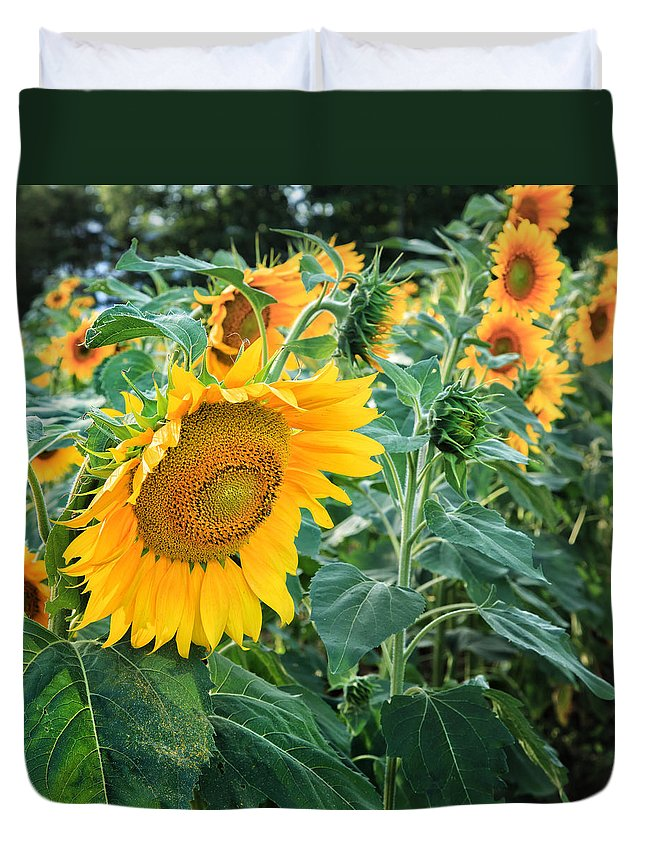 Square Duvet Cover featuring the photograph Sunflowers For Wishes by Bill Wakeley