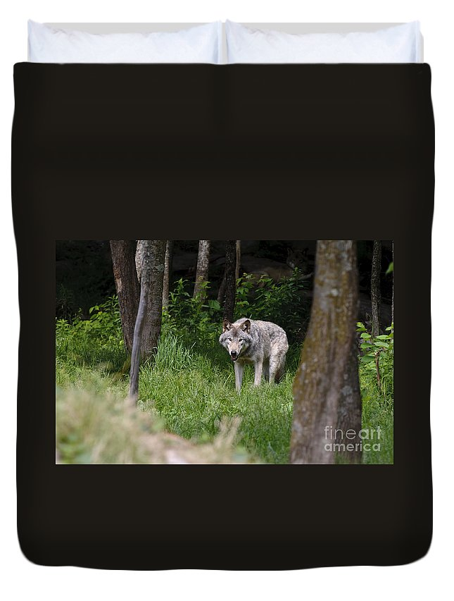 Timber Wolf Photography Duvet Cover featuring the photograph Timber Wolf In Forest by Wolves Only