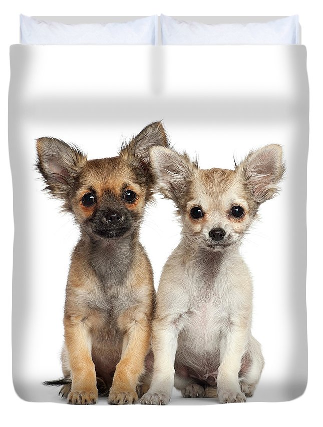 Pets Duvet Cover featuring the photograph Two Chihuahua Puppies Sitting 3 Months by Life On White
