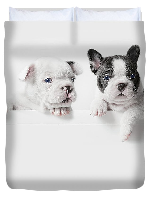 Pets Duvet Cover featuring the photograph Two French Bulldog Puppies Peer Over A by Andrew Bret Wallis