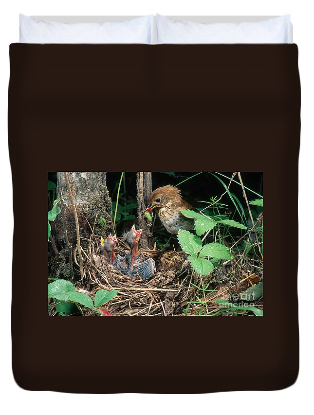 Veery Duvet Cover featuring the photograph Veery At Nest by Anthony Mercieca
