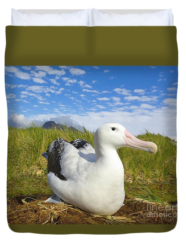 00345306 Duvet Cover featuring the photograph Wandering Albatross Incubating by Yva Momatiuk John Eastcott