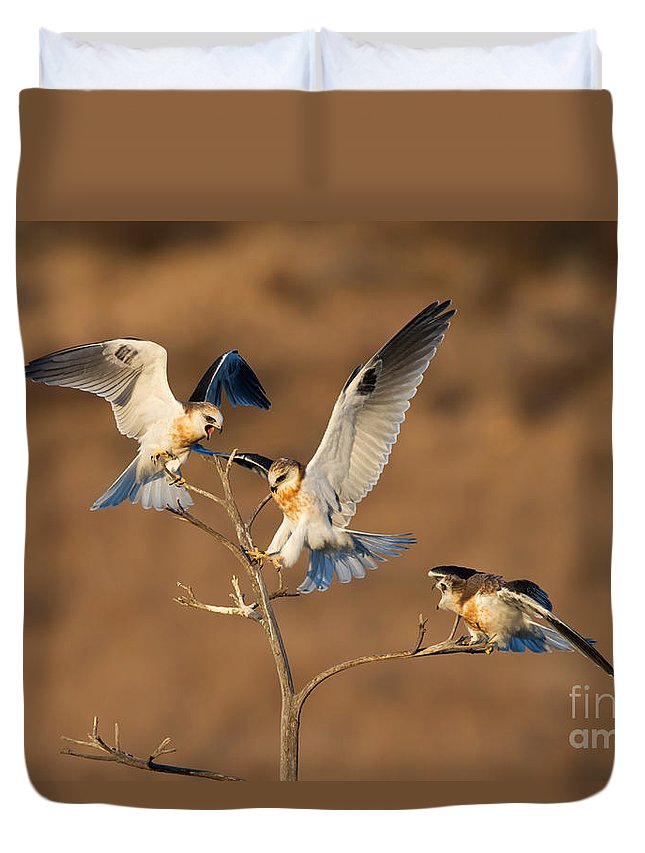 Animal Duvet Cover featuring the photograph White-tailed Kite Trio by Anthony Mercieca