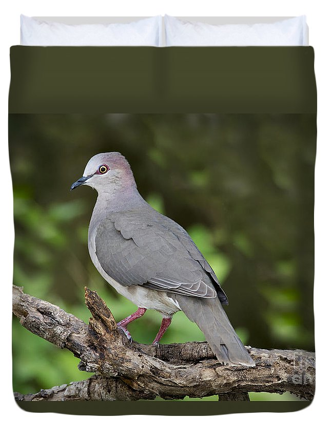 White-tipped Dove Duvet Cover featuring the photograph White-tipped Dove by Anthony Mercieca
