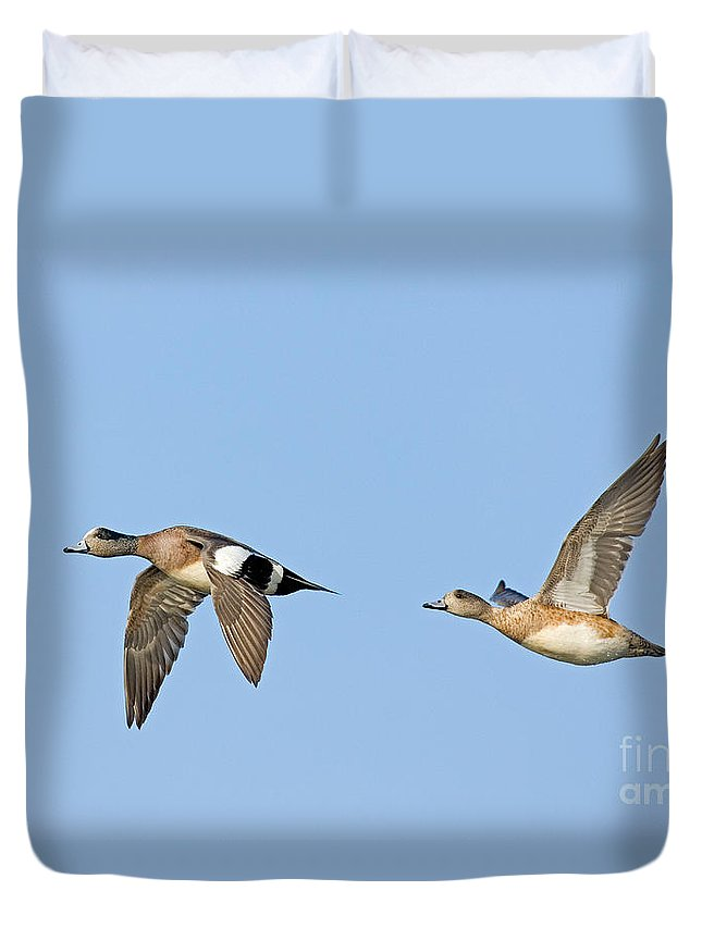Fauna Duvet Cover featuring the photograph Wigeon Pair Flying by Anthony Mercieca