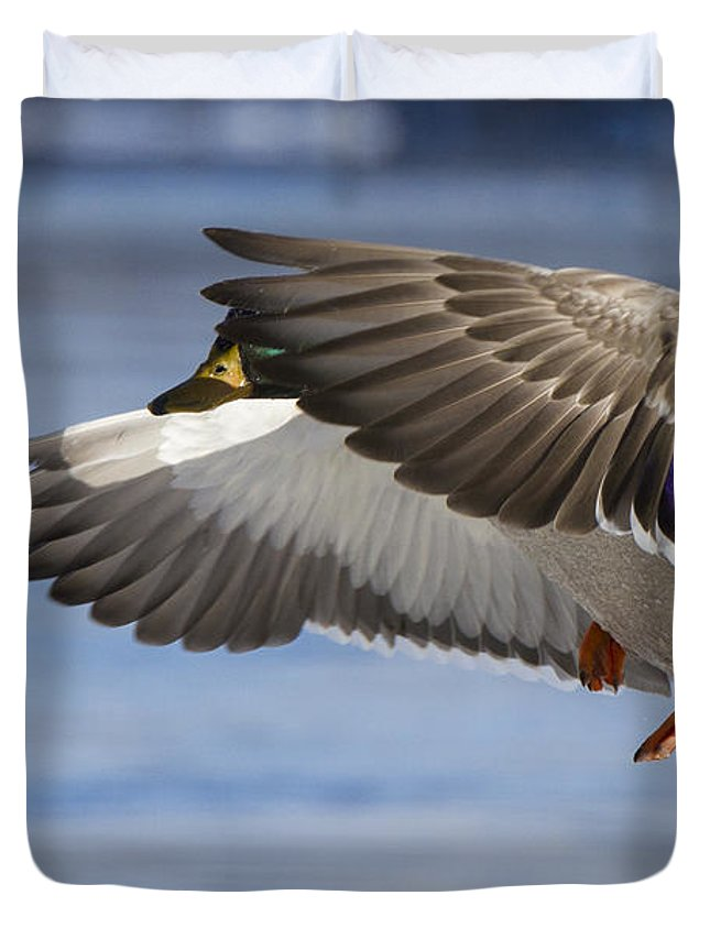 Anas Duvet Cover featuring the photograph Winter Mallard by Mircea Costina Photography