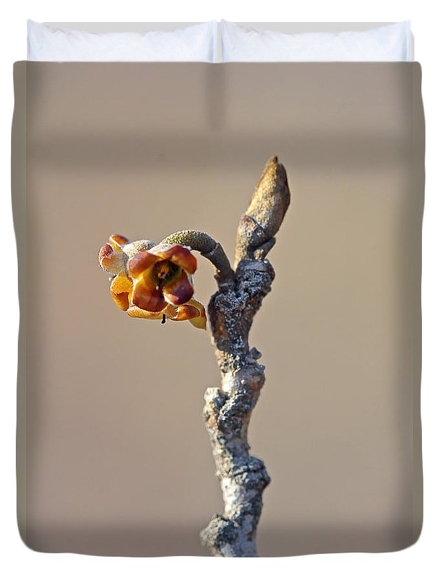 witch Hazel Duvet Cover featuring the photograph Witch Hazel Springtime Twig - Hamamelis by Mother Nature