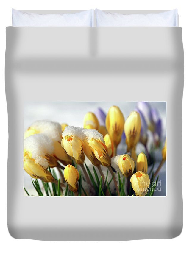 Yellow Crocuses Duvet Cover featuring the photograph Yellow Crocuses In The Snow by Sharon Talson