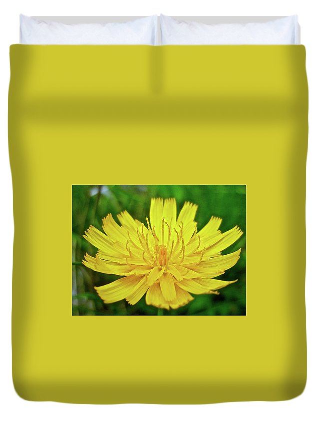 Hawkweed Duvet Cover featuring the photograph Yellow Hawkweed - Hieracium Caespitosum by Mother Nature