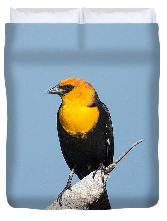 Black Bird Duvet Cover featuring the photograph Yellow Headed Blackbird by Jack Bell