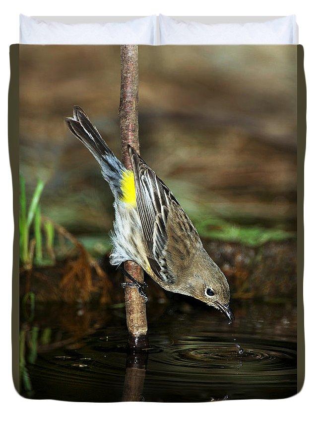 Yellow-rumped Warbler Duvet Cover featuring the photograph Yellow-rumped Warbler Drinking by Anthony Mercieca