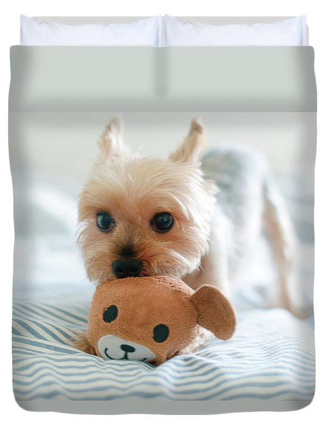 Pets Duvet Cover featuring the photograph Yorkie Playing With Teddy Toy by Cheryl Chan