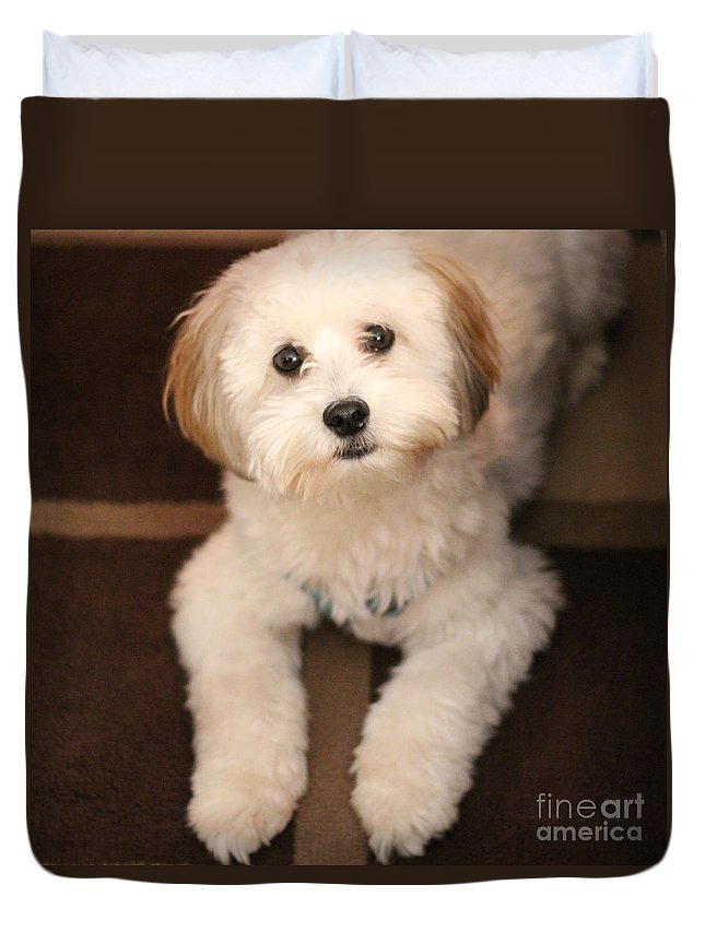 Yoshi Duvet Cover featuring the photograph Yoshi Is One Today - Havanese Puppy by Barbara Griffin