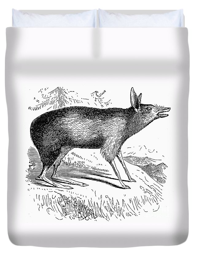 19th Century Duvet Cover featuring the photograph Bandicoot by Granger