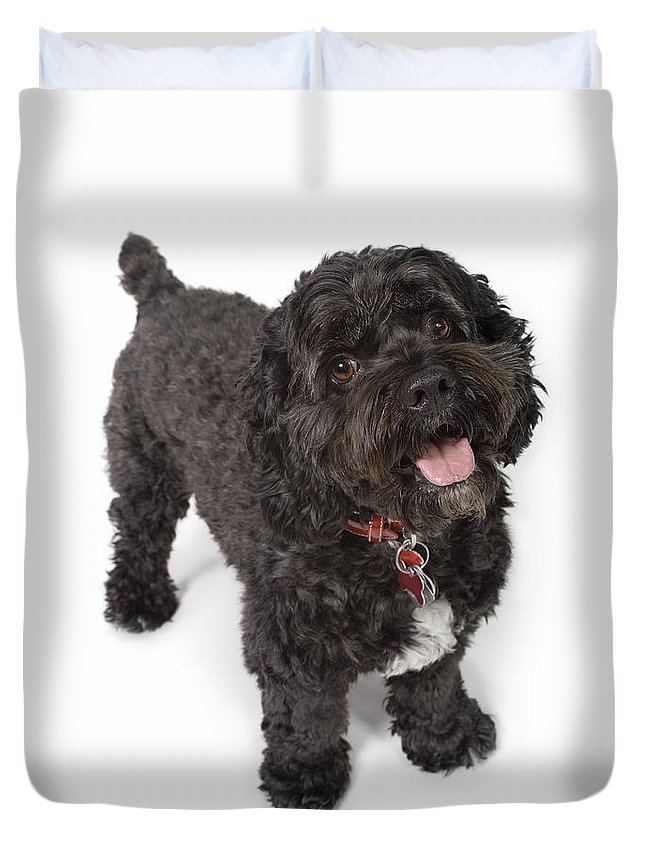 Animals Duvet Cover featuring the photograph Black Bichon-cocker Spaniel Dog by Corey Hochachka