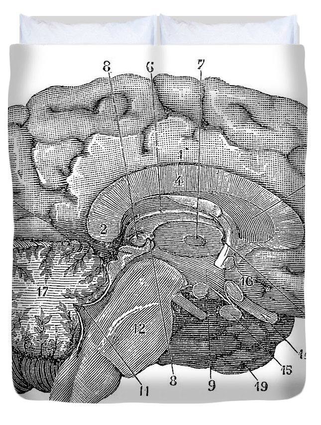 Brain Duvet Cover featuring the photograph Brain Cross-section by Science Source