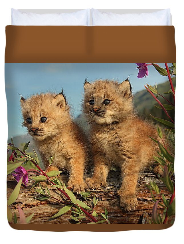 Light Duvet Cover featuring the photograph Canadian Lynx Kittens, Alaska by Robert Postma