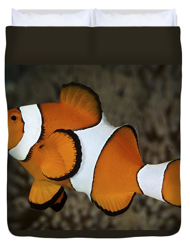Amphiprion Duvet Cover featuring the photograph False Clownfish by Steve Rosenberg - Printscapes